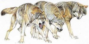 волк эскиз (9)