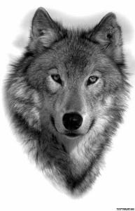 волк эскиз (13)